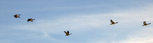 Panoramic Shot Of Canada Geese Flying In Sky
