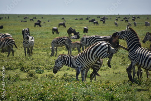 Fototapeta premium Zebras On Grassy Landscape Against Sky