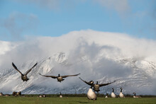 Canada Geese In Landscape Of Skiddaw Snow Capped Mountain Range In Lake District In Winter With Low Level Cloud Around Peaks