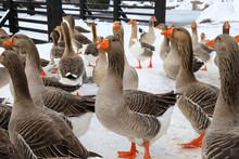 Beautiful Gray Pedigreed, Fat Geese Walk On The Farm In Winter. Goose Farm, Fattened Geese,waterfowl Birds , Poultry. Gourmet Food, Foie Gras.
