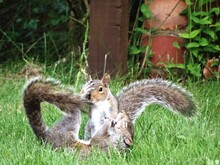 Squirrels In Grass.