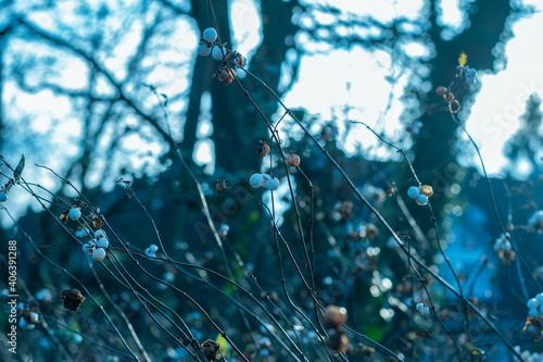Fotografía Selective focus closeup of the white berry fruit on a whiteberry bush in Emden,