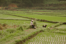 Rice Farmers Working On A Sceni Rice Field