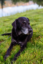 An Older Black Labrador Retriever Rests In The Mountains Of Colorado.