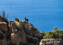 Mouflon Standing On A Rock Formation In The Bizzare Landscape Of Calanche De Piana, Located In N The Gulf Of Porto, On The West Coast Of Corsica, France.