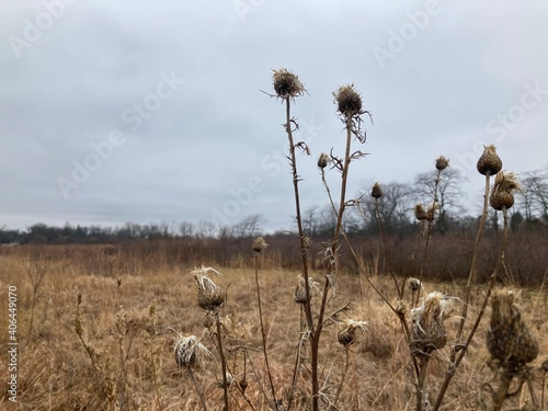 Fototapeta winter thistles in the field