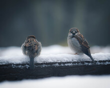 A Pair Of House Sparrows In The Snow