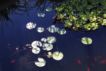 Lily Pads In Goldfish Pond