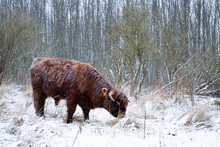 Scottish Highland Cow In A Forest In The Netherlands.