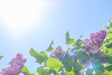 Lilac Bloom Sky Blue Spring. Gardening Close-up.