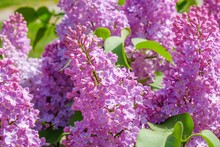 Lilac Bloom Sky Blue Spring. Freshness Flora.