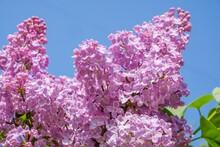 Lilac Bloom Sky Blue Spring. Violet Purple.