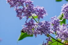 Lilac Bloom Sky Blue Spring. Flora.