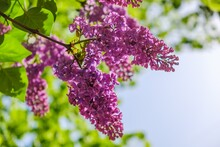 Lilac Bloom Sky Blue Spring. Purple Outdoors.