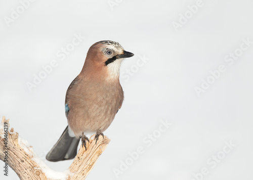 Fototapeta Eurasian jay perched on a tree branch in winter