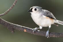 Curious Little Tufted Titmouse Perched In A Tree