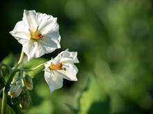 Potato Flowers Blossom In Sunlight Grow In Plant.