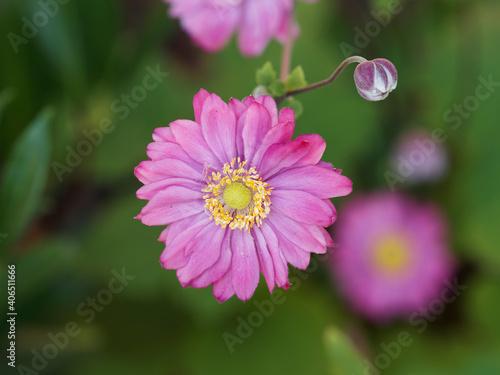 Cuadros en Lienzo Anémone hybride du japon à couronne de pétales doubles rose sur hampe florale ro