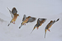 Flock Of Mourning Dove Flying On Snowy Background