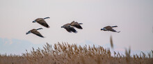Flock Of Canadian Geese Flying Around The Great Salt Lake In Utah, The US