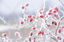 In Winter When There Is Frost And Sub-zero Temperatures, A Bush With Rose Hips Is Covered With Ice And Ice Crystals