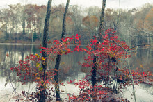 Beautiful Red Autumn Leaves In A Forest Beside A Lake