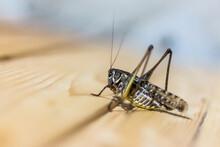 Closeup Shot Of A Beautiful Grasshopper