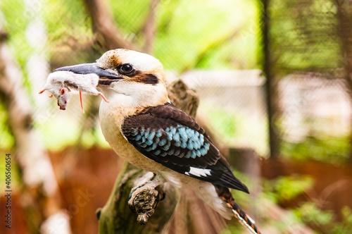 Canvas Print Closeup shot of a kookaburra bird holding a killed mouse with its beak on a blur