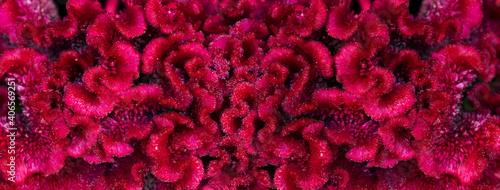 Fotografia, Obraz dark pink red cockscomb flower velvet texture nature banner background