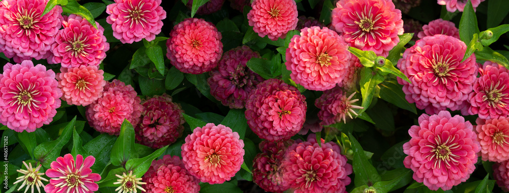 Fototapeta blooming pink flower in green spring garden nature banner background
