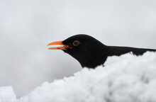 Close-up Of A Blackbird (Turdus Merula) Eating Seed In The Snow On A Cold Winter Day.