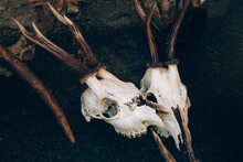 Roe Deer Skulls With Antlers On The Ground. Dark Magic Witch Accessories, Occult Sciences Concept, Ancient Mystical Ritualistic Practices And Shamanism. Selective Focus, Toned Image