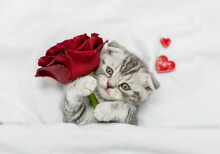 Cute Kitten Holds Red Rose On A White Bed. Valentines Day Concept
