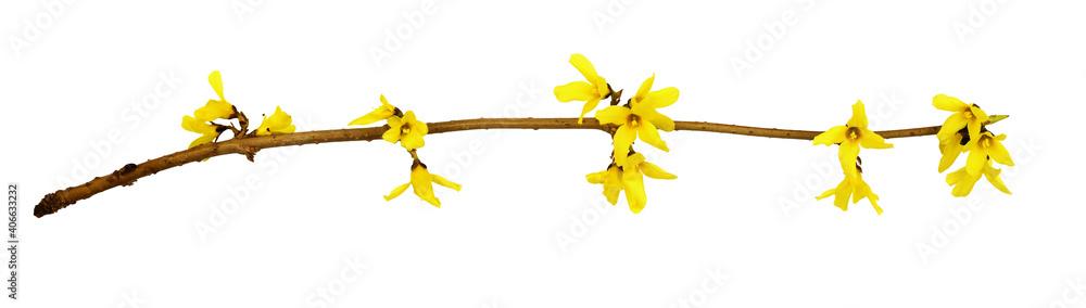 Fototapeta Spring twig of forsythia shrub with yellow flowers