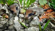 Mouse Cubs On The Ground