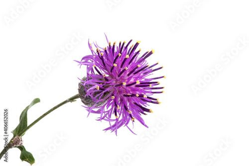 Tela thistle flower isolated
