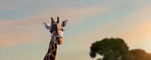 African Wild Giraffe At Evening Sunlight.