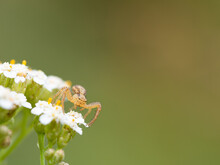 Young Crab Spider (Xysticus) On White Flowers