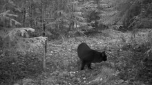 Infrared: A Black Fluffy Cat Is Sniffing Around In A Forest At Night
