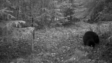 Infrared Trailcam: A Black Fluffy Cat Is Sniffing Around In A Forest At Night