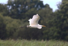 Great White Egret Flying Over Reeds