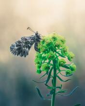 Farfalla Zerynthia Cassandra Vista Di Lato Posata Su Fiore