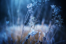 A Withered Plant On Thin Stems Is Covered With Frost And Snow In A Cold Frosty Winter In A Dark Forest. Nature In Winter.