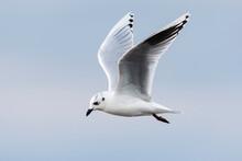 ズグロカモメ成鳥冬羽飛翔(Saunders's Gull)