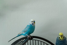Budgie Blue Male Alone On Branch