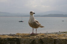 A Closeup View Of A Young Herring Gull Standing On A Wall At Beaumaris, Anglesey, Wales, UK.