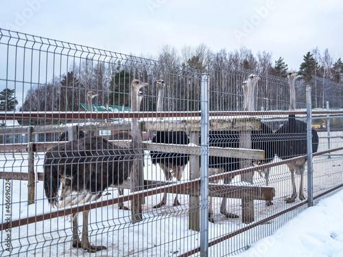 Foto Ostriches in aviary at  ostrich farm in winter