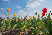 Blooming Tulips At The Field, Side View, Blue Sky With Clouds