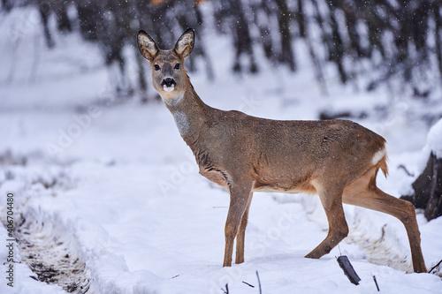 Fotografia Roe deer in the snow