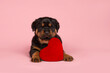 Leinwandbild Motiv Cute young rottweiler puppy lying down on a pink background with a red heart cushion between its legs